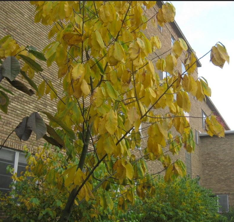 Asimina triloba tree fall