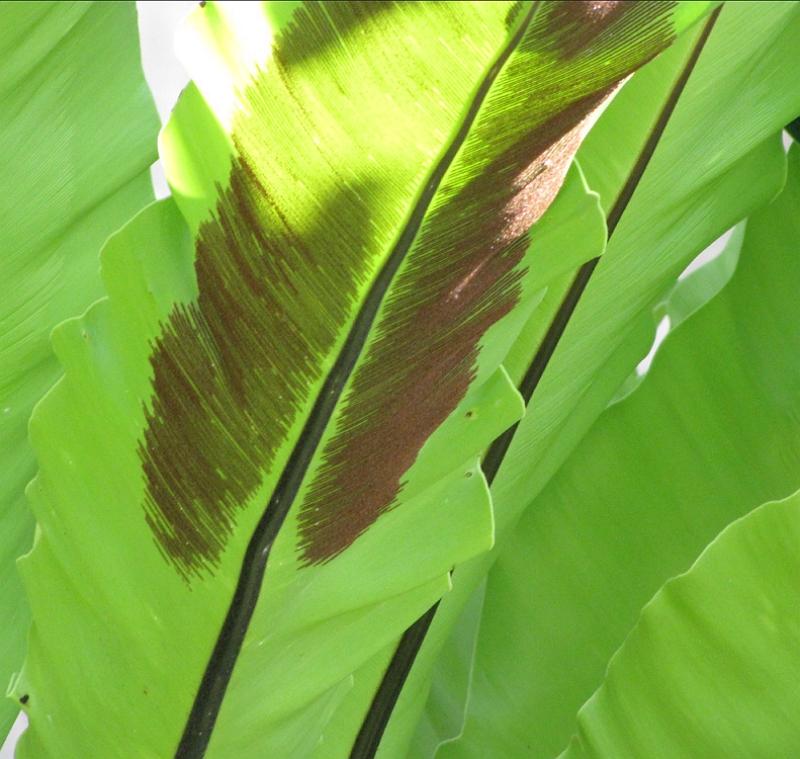 Asplenium nidus leaf