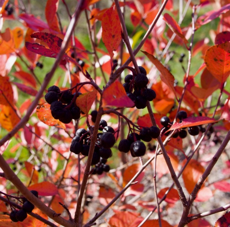 Black Chokeberry plant in the Fall