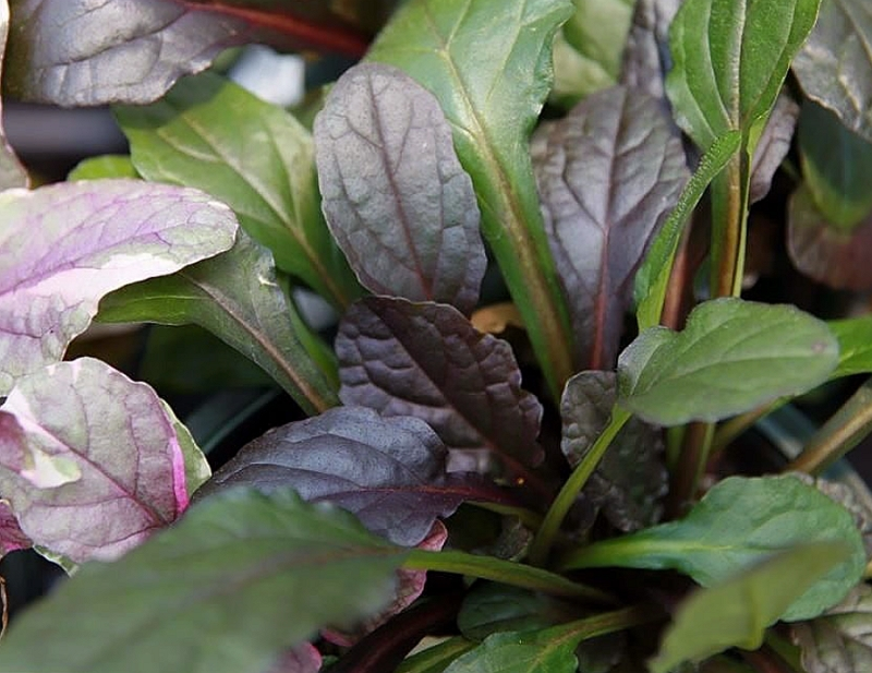 Close up of Burgundy Glow leaves