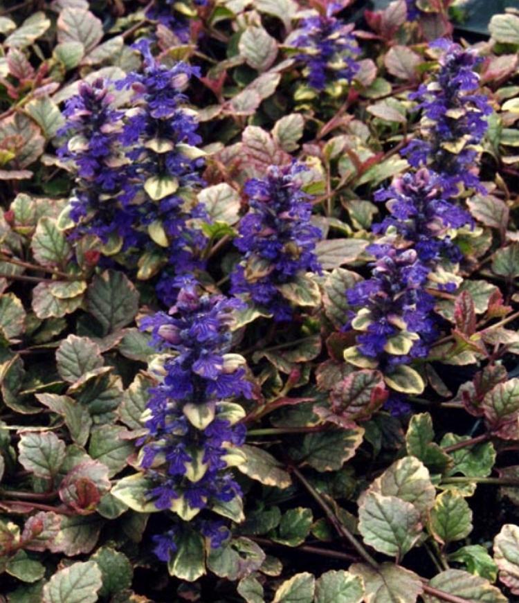 BurgundyGlow flowers