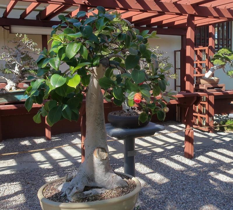 Camellia japonica bonsai tree