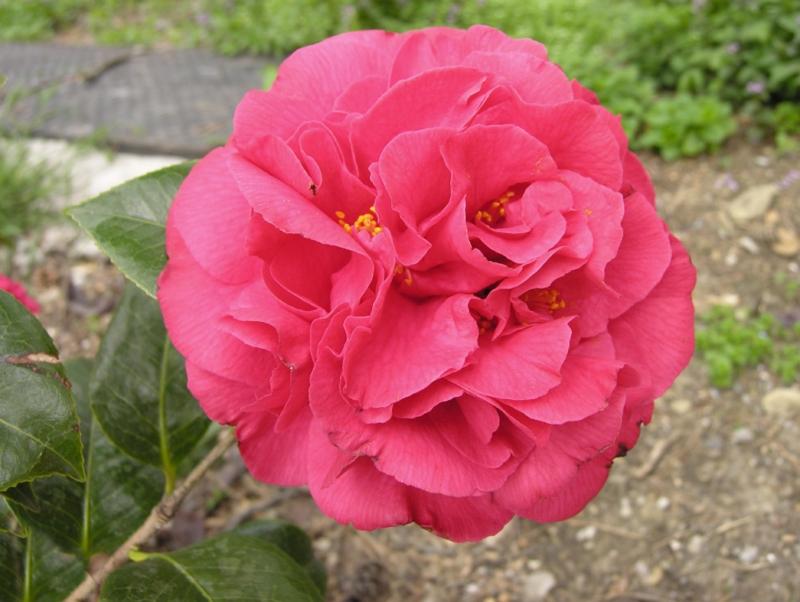 Camellia Kramer's Supreme