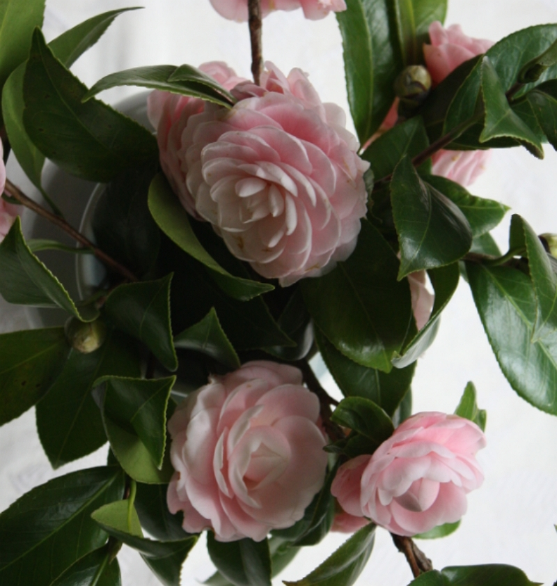 Camellia japonica pink perfection