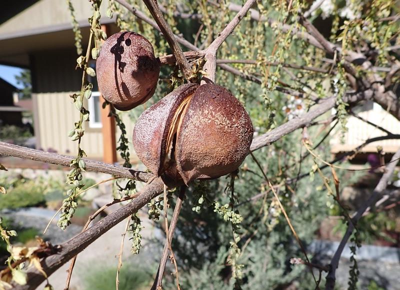 Chinese Flowering Chesnut