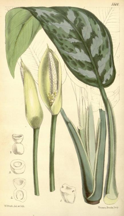 Art Print of Aglaonema commutatum