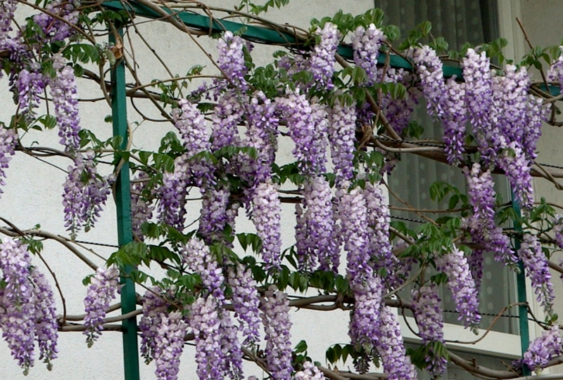 Chinese wisteria plant