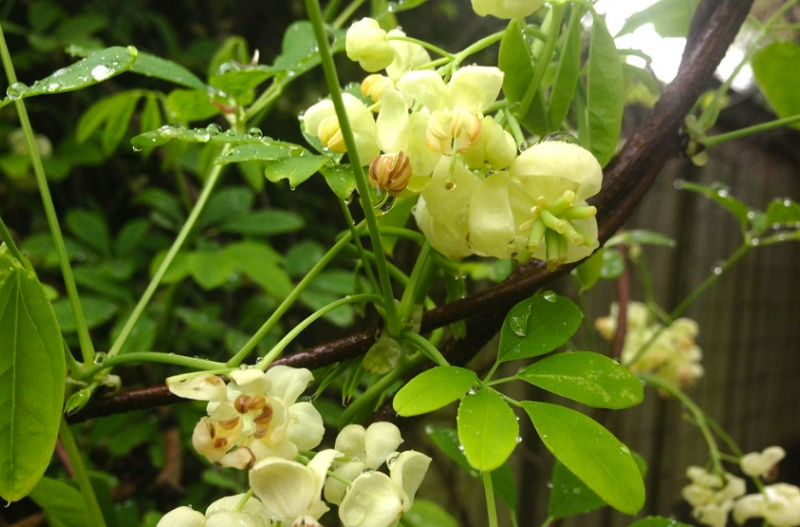 Chocolate Vine yellow flowers