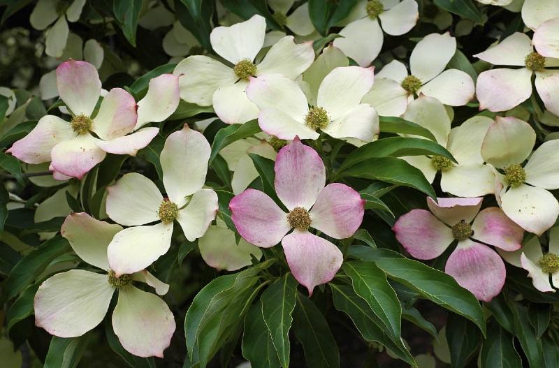 Blooming Cornus florida Plant