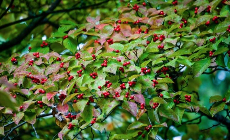 Cornus florida fruiting
