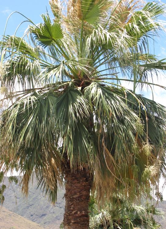 Desert Fan Palm tree