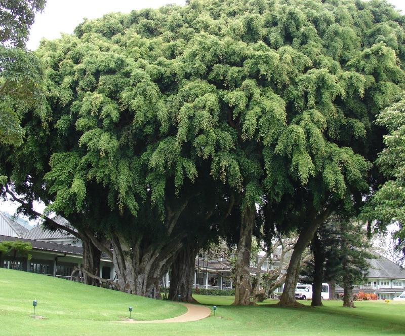 Ficus benjamina Photograph