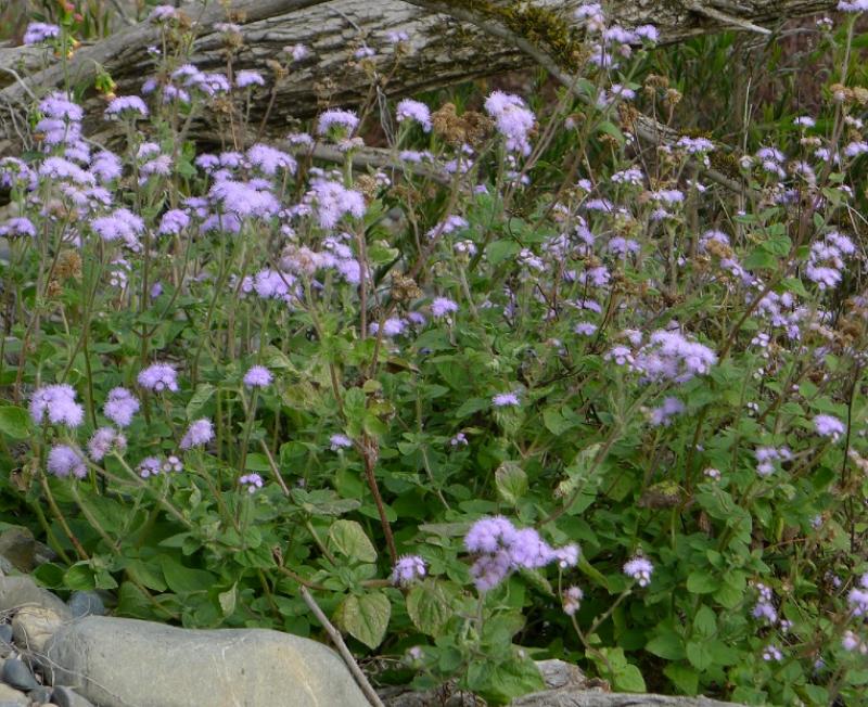 Floss Flowers in their native habitat