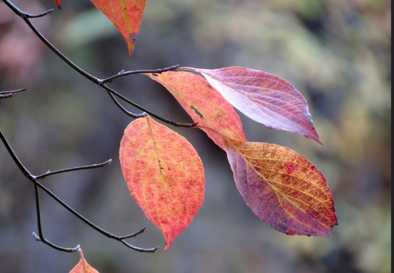 Flowering Dogwood leaves in autumn