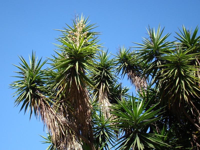Guatemala Yucca