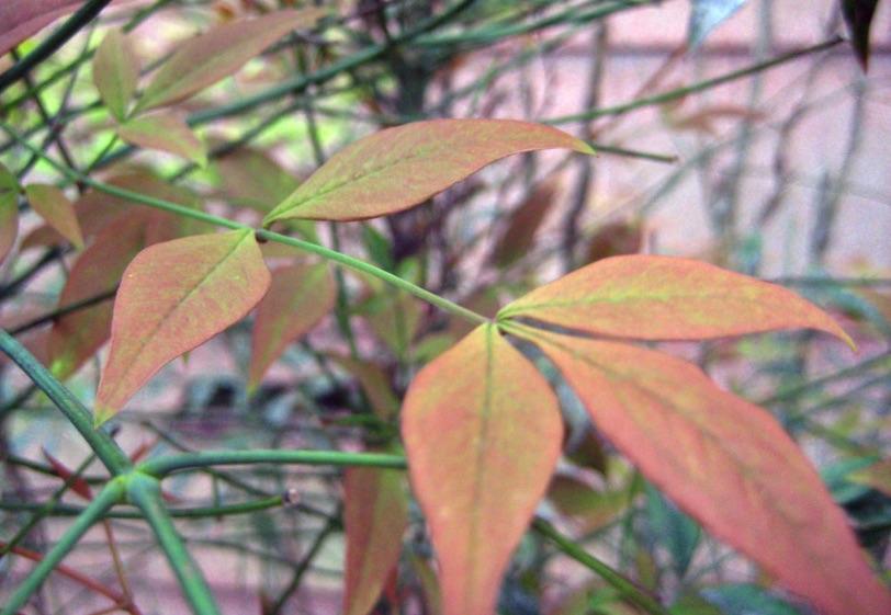 Pinnate leaves of Heavenly Bamboo