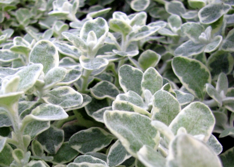 Helichrysum Petiolare Variegata leaves