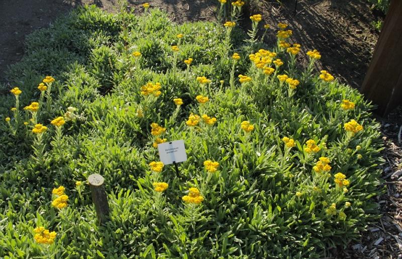 Helichrysum arenarium Dwarf Everlast