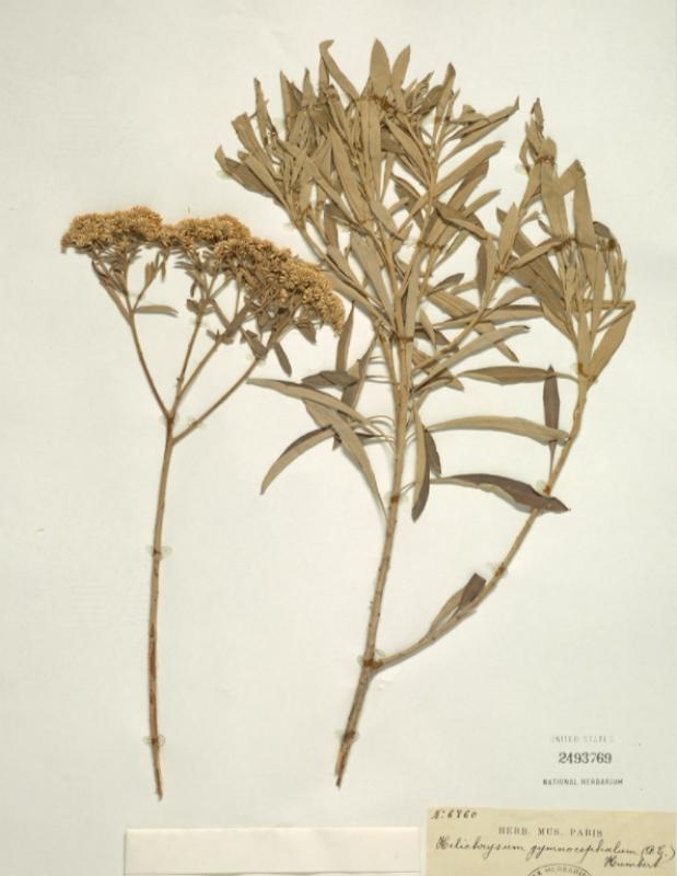 Helichrysum gymnocephalum