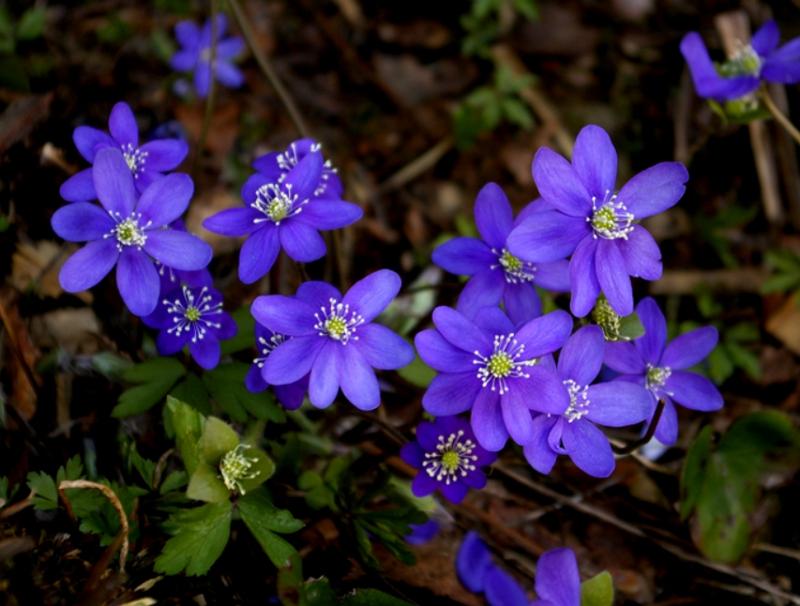 Hepatica nobilis Liverwort