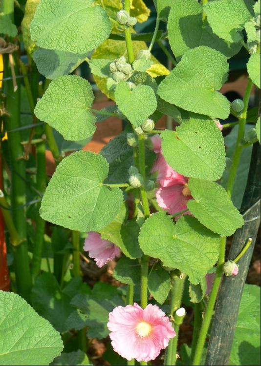 Hollyhock leaves