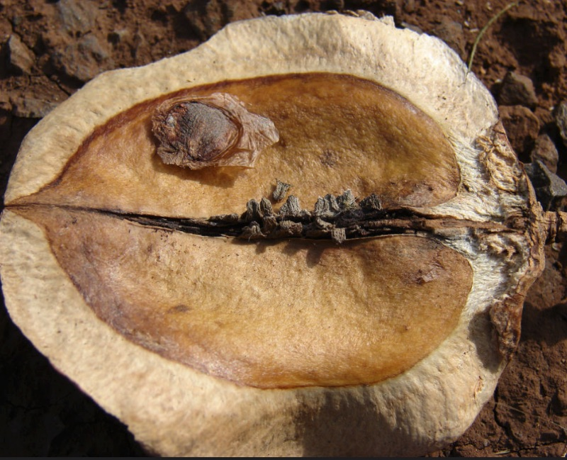 seed pod from the jacaranda tree