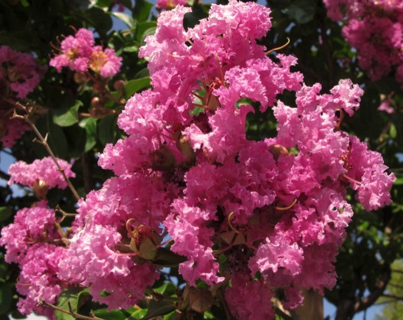Crepe-myrtle bloom