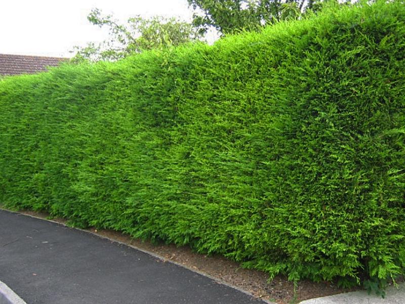 Leylandii Hedge