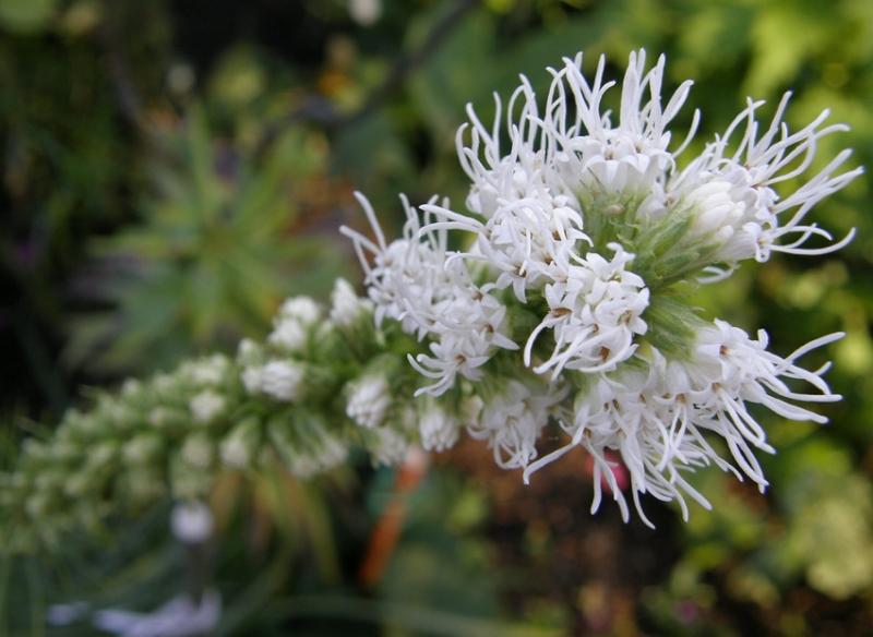 Liatris spicata white flowers