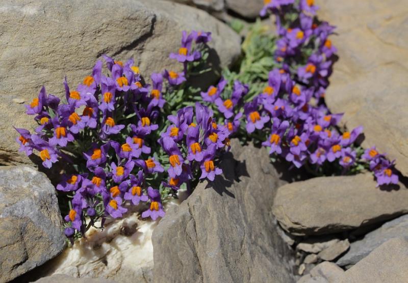 Linaria alpina, Alpine toadflax