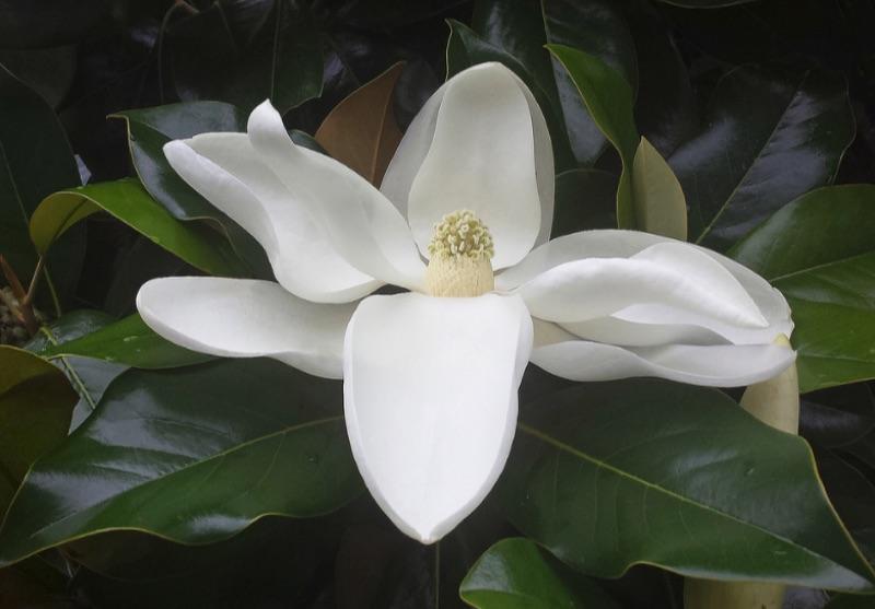 Close up of Magnolia flower