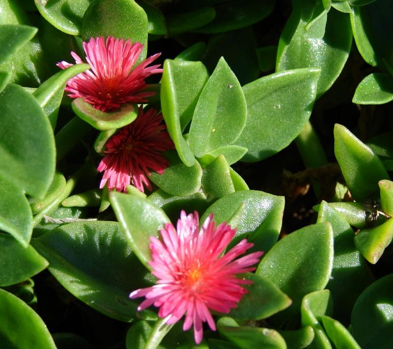 Mesembryanthemum cordifolium Rock Rose