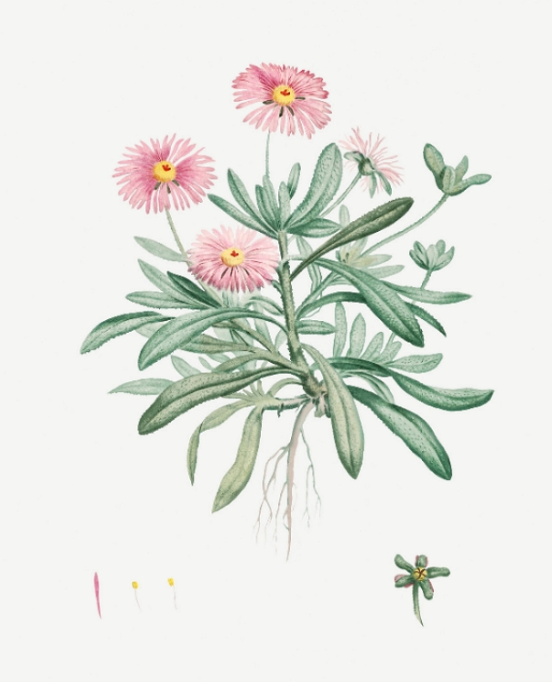 Mesembryanthemum criniflorum, Cleretum bellidiforme