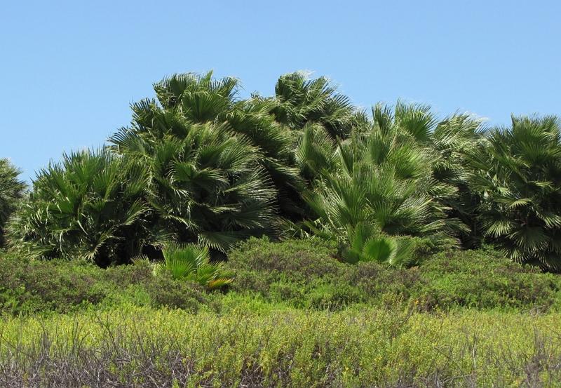 Mexican fan palm trees