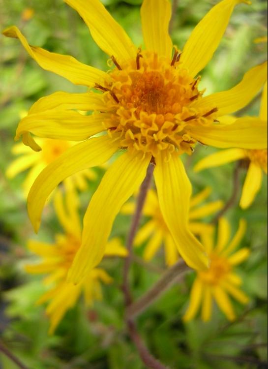 Mountain arnica flower