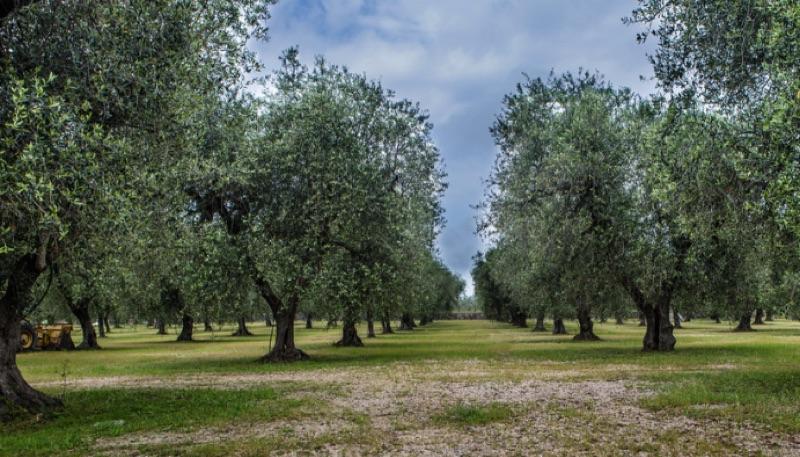 Common Olive