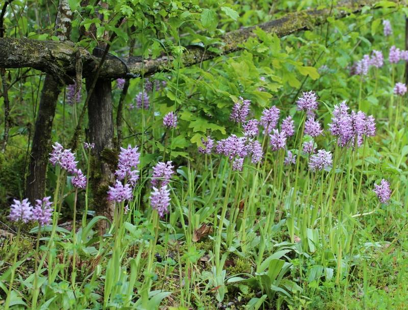 Orchis simia plants