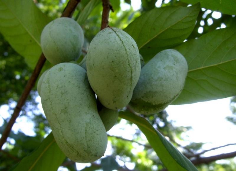 Pawpaw fruits