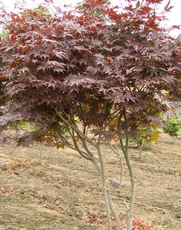 Purple Japanese Maple Sapling