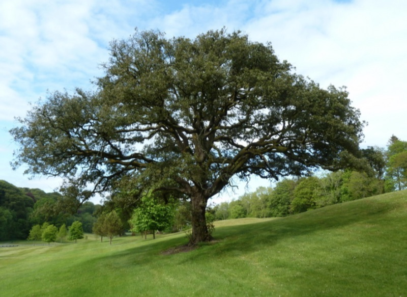 Holly Oak