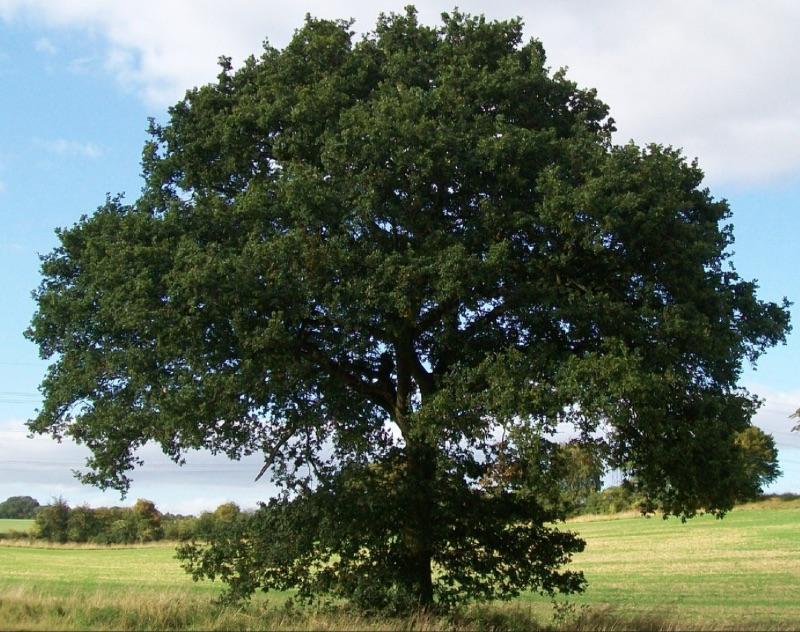 Common oak
