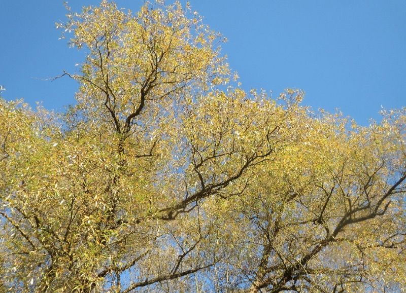 White Willow tree