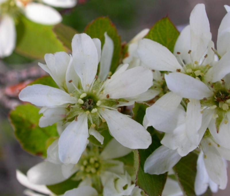 white Saskatoon flowers