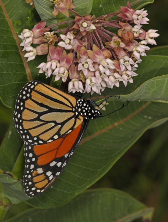 Silkweed flower and Monarch Butterfly