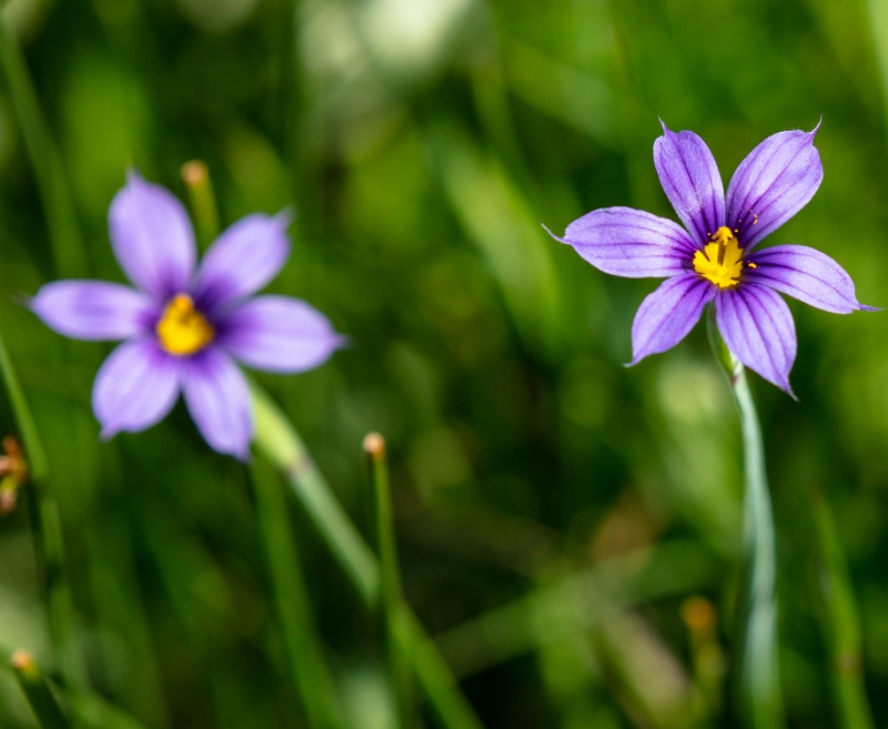 Sisyrinchium montanum American blue-eyed grass