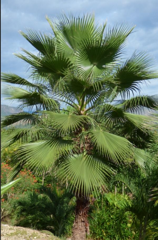 Skyduster tree