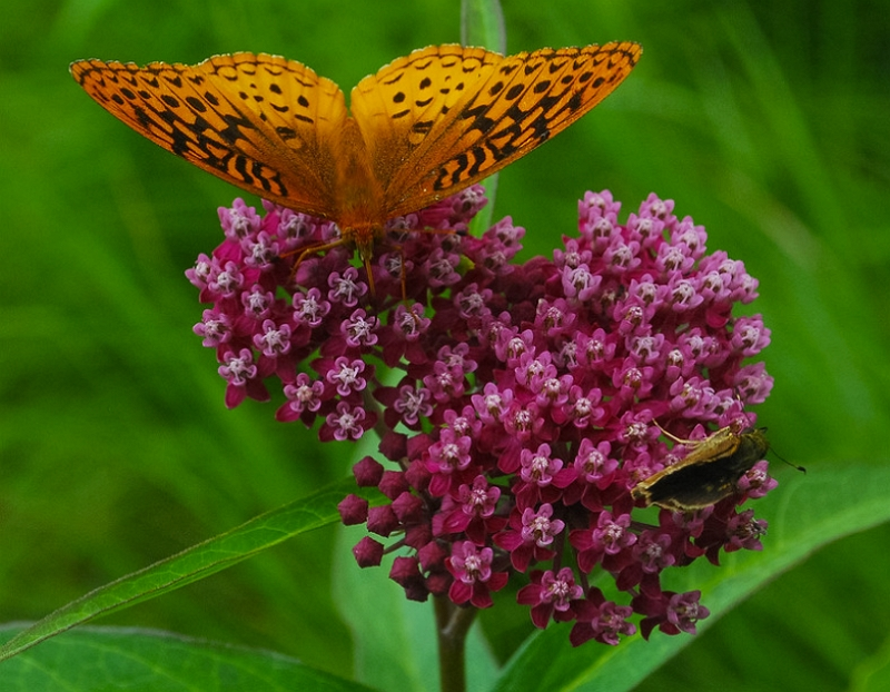 Swamp Milkweed visited by a butterfly