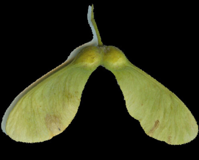 Sycamore Seed Photograph