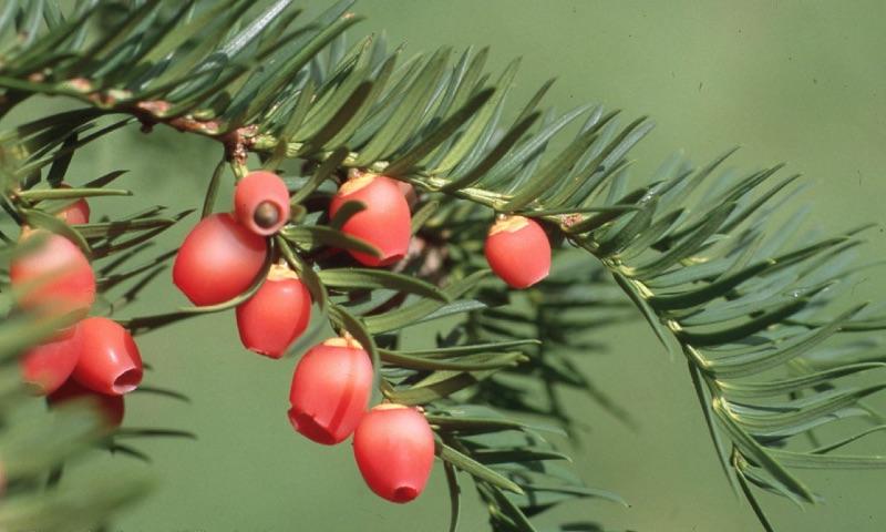 Yew berries