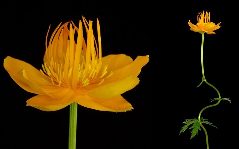 Globe Flower Golden Queen